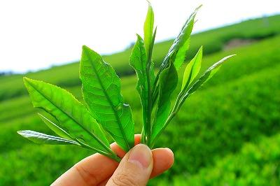 Αυτή η εικόνα δεν έχει ιδιότητα alt. Το όνομα του αρχείου είναι green-tea-plant.jpg
