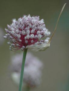 Αυτή η εικόνα δεν έχει ιδιότητα alt. Το όνομα του αρχείου είναι Garlic_flower_head.jpg
