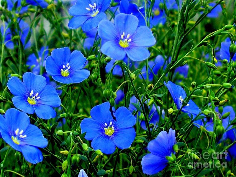 Αυτή η εικόνα δεν έχει ιδιότητα alt. Το όνομα του αρχείου είναι dainty-blue-flax-linum-margaret-newcomb800x600.jpg